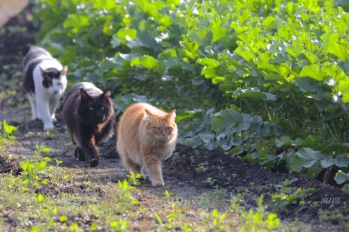 猫3大根畑mネ995A3526 -2