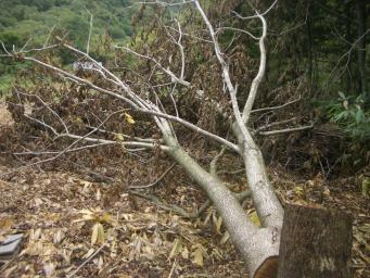 倒したクルミの木