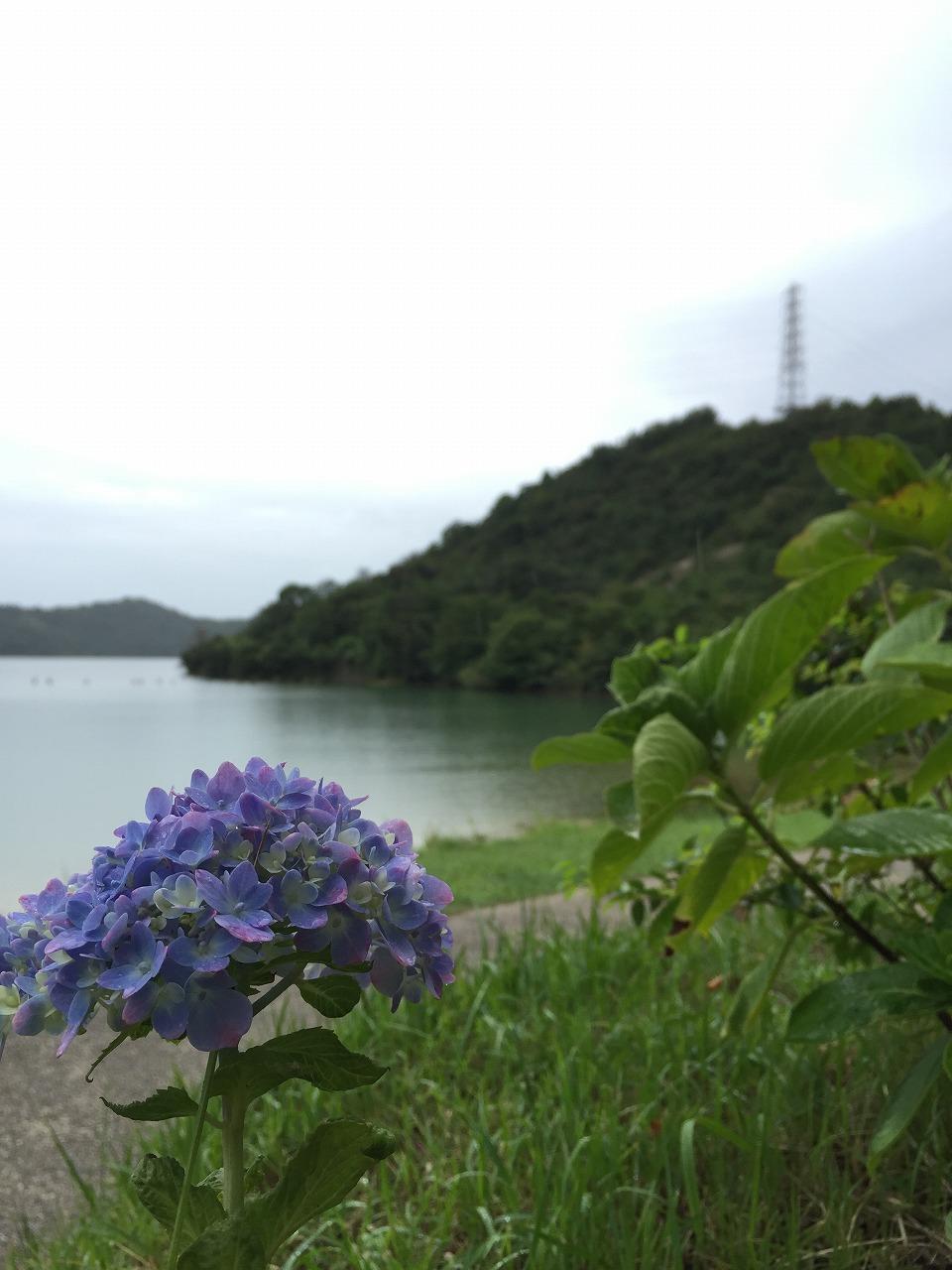 季節外れの紫陽花2。