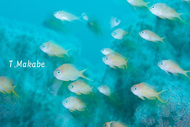 伊豆海洋公園のキンギョハナダイ