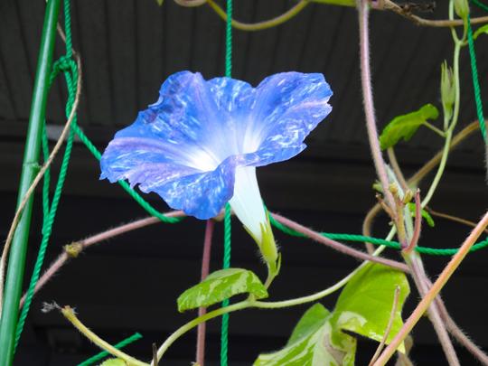 ブルーの朝顔10月