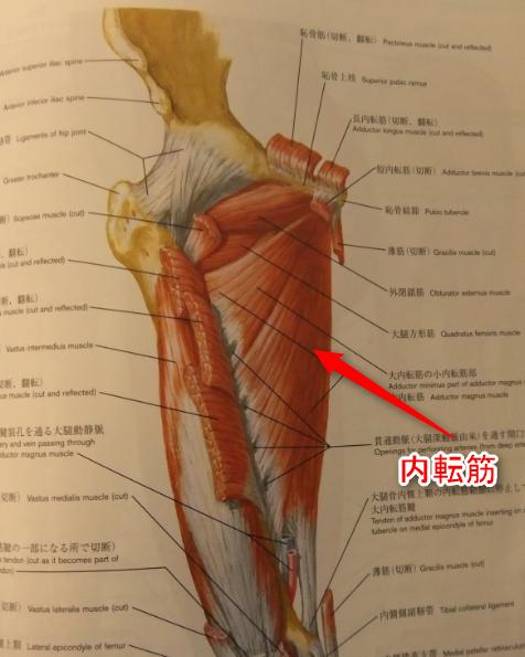 内転筋の図