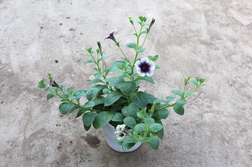 Petunia ペチュニア 新品種 育種 生産 販売 松原園芸