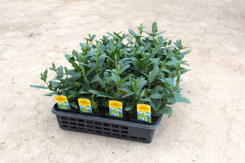ボックセージ Salvia uliginosa 宿根草  生産 販売 松原園芸 直売