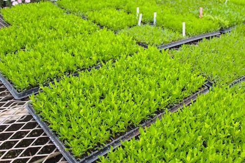 オステオスペルマム Osteospermum オリジナル品種 挿し芽  育種 生産 販売 松原園芸