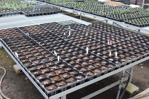 ハボタン 育種  生産 販売 松原園芸