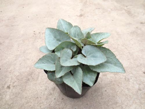 シクラメン 育種  シルバーリーフ 生産 販売 松原園芸
