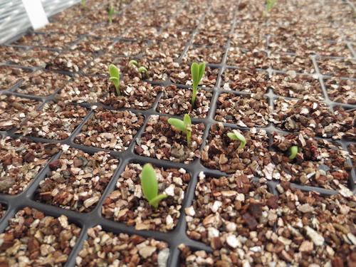 オステオスペルマム Osteospermum オリジナル品種 発芽 育種 生産 販売 松原園芸