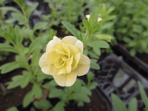 カリブラコア ティエルノ 八重咲き 育種 生産 販売 松原園芸