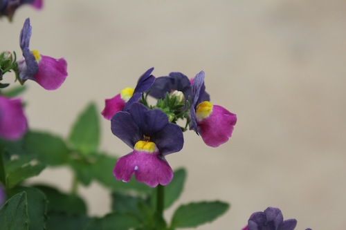 ネメシア パステシア  育種 生産 販売 松原園芸