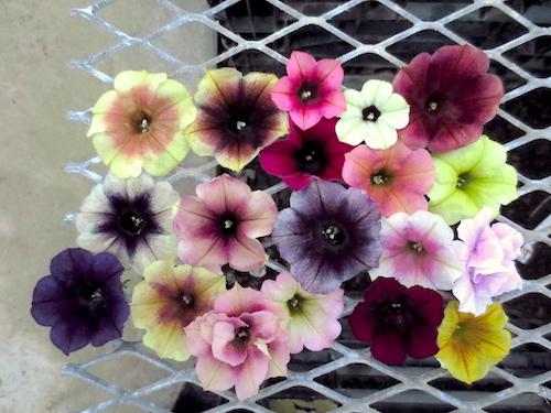 ペチュニア 育種 品種改良 オリジナル品種 生産 販売 松原園芸