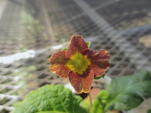 プリムラ ポリアンサ 肥後ポリアンサ 交配 育種 出荷 生産 販売 Primula polyantha サクラソウ科 松原園芸