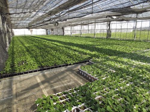 プリムラ 交配 育種 出荷 生産 販売 Primula サクラソウ科 松原園芸