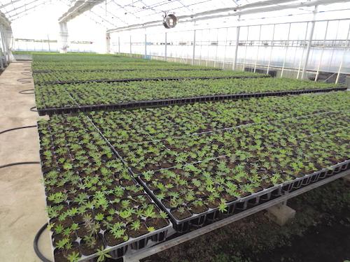 ルピナス 種子 採種 Lupinus polyphyllus ラッセルルピナス 交配 生産 販売 松原園芸