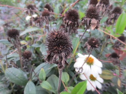 エキナセア(キク科Echinacea purpurea) タネ 種子 生産 販売 松原園芸