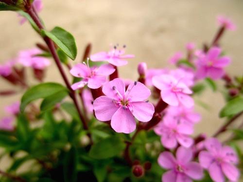 サポナリア オキモイデス ツルコザクラ(ナデシコ科 Saponaria ocymoides) 生産 育種 販売 松原園芸 直売