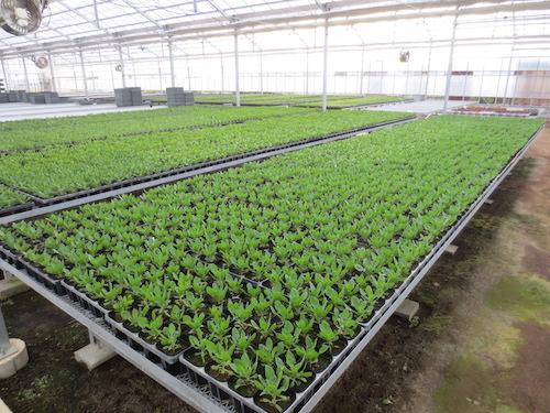 オステオスペルマム Osteospermum オリジナル品種 ピンチ 摘芯 発芽 育種 生産 販売 松原園芸