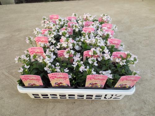 ネメシア パステシア ピンクホワイト 育種 生産 販売 松原園芸