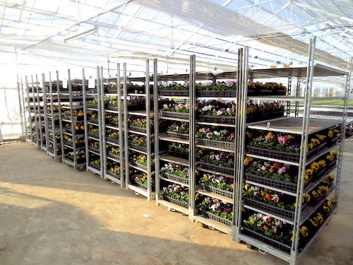 八重咲き パンジー 育種 生産 販売 松原園芸