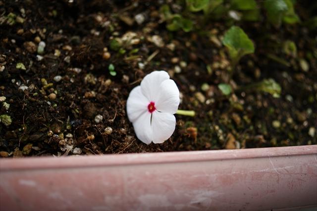 お墓にお花を添えました
