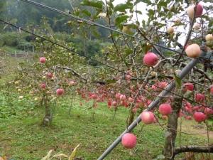 18リンゴ