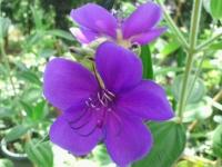 20150821 紫紺野牡丹