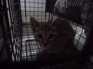 20150829キジ猫♀ (6)