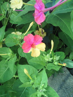 2色のおしろい花