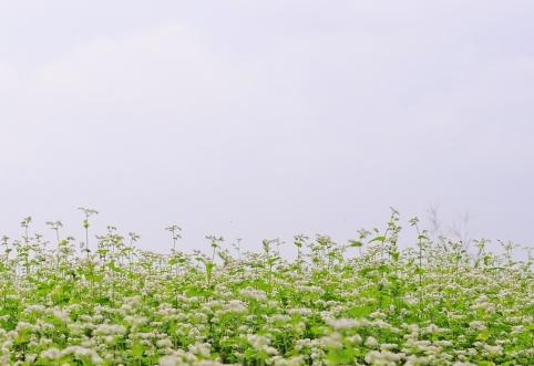 波野のそば畑