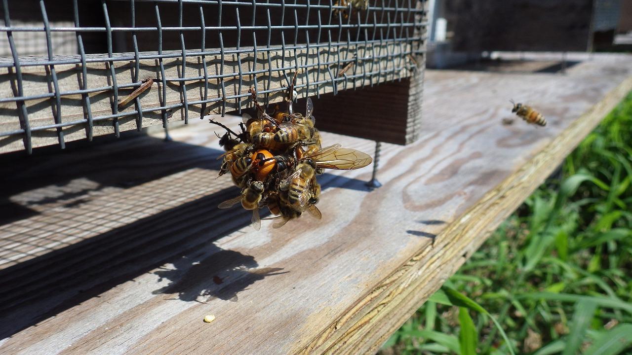 スズメバチと戦うミツバチ