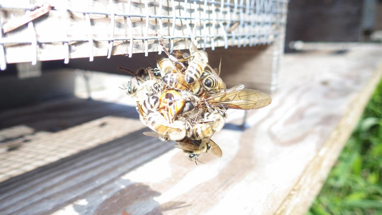スズメバチと戦うミツバチ①