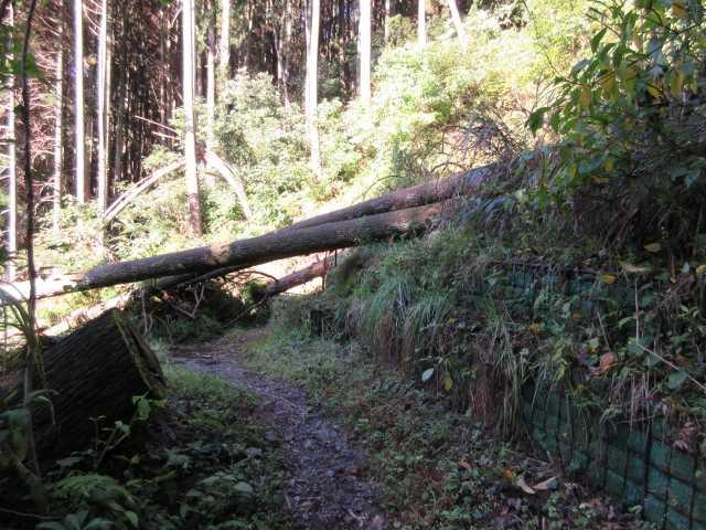 IMG_0096 台風15号の倒木