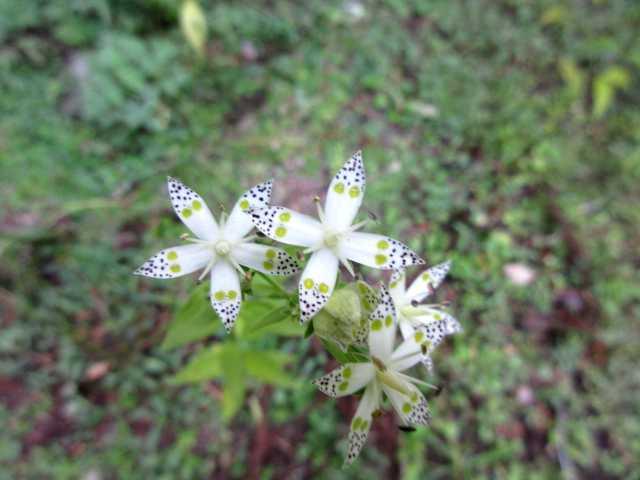 IMG_0209  林道にアケボノソウが咲いています