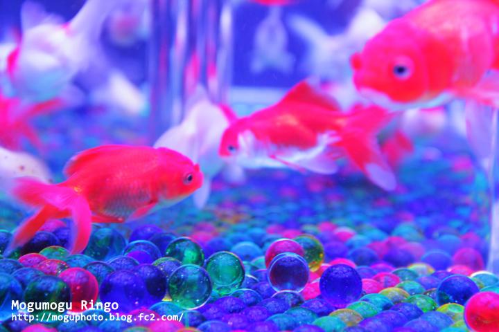 金魚とビー玉