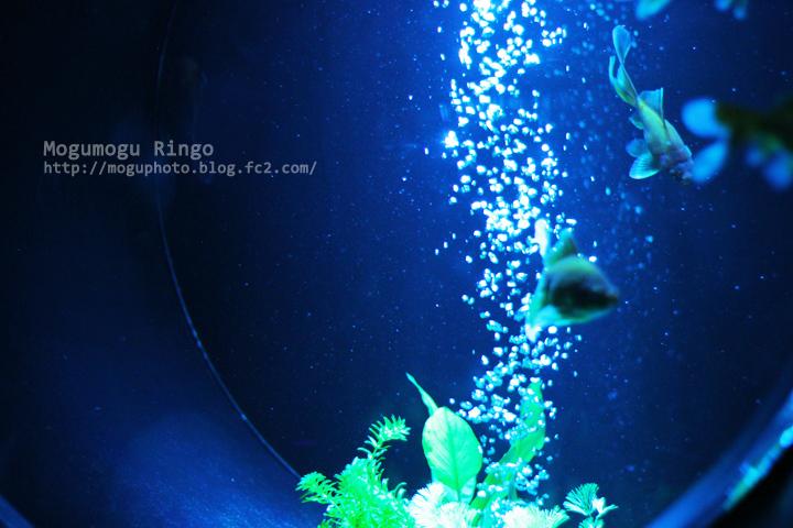 金魚コレクション