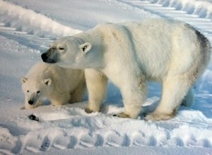01 300 polar bear