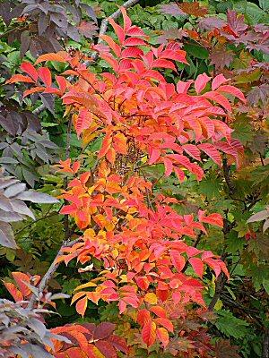 08 300 漆の木紅葉