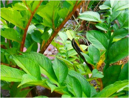 06 500 20150915 蛾の幼虫on蒟蒻の葉