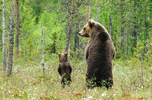 02 500 Bears standing in the wood