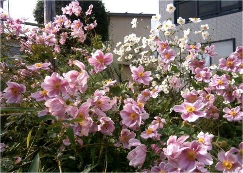 004 500 20151012 シュウメイギク pink-white
