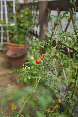 tomato150826-1