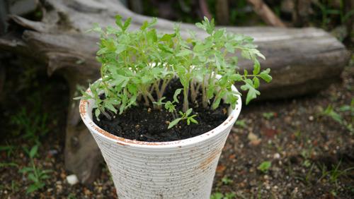 tomato150901-3