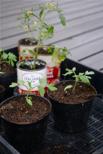 tomato150903-1