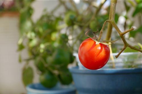 tomato151004-2