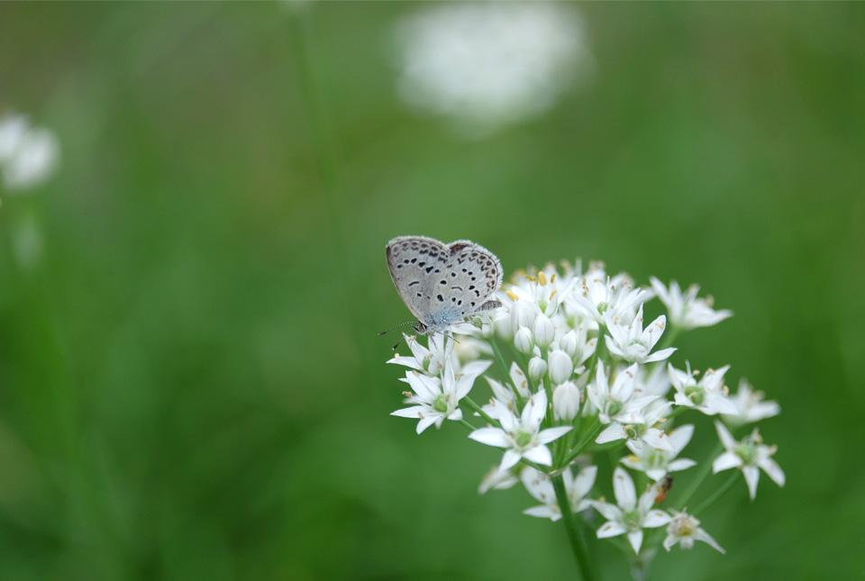 8101 ニラの花とシジミチョウ 960×645