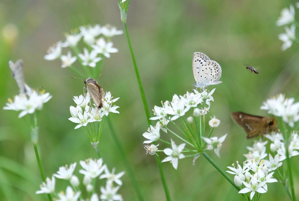 8116 ニラの花と昆虫たち 960×645