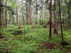 赤沢自然休養林 ヒノキの自然林