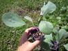 紫キャベツの苗