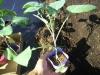 紫カリフラワー苗