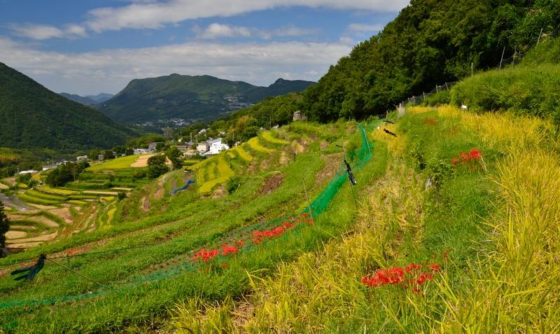 「実りの棚田9」  (香川県小豆島)
